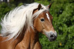 Haflinger – A Rising Star Among Race Horses